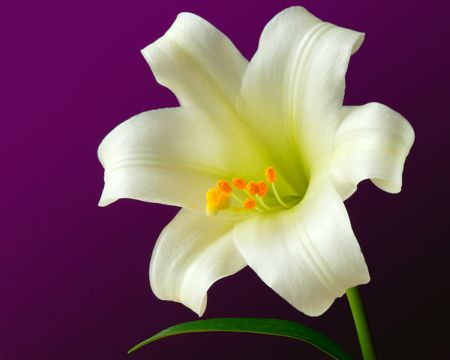lillies, Beautiful flower